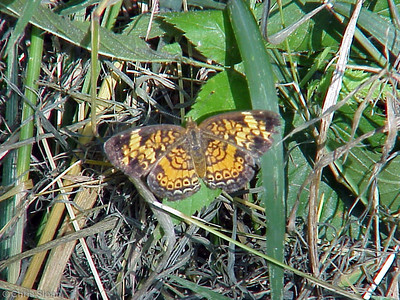 Pearl Crescent (blurry) at Radnor Lake (7-8-00)