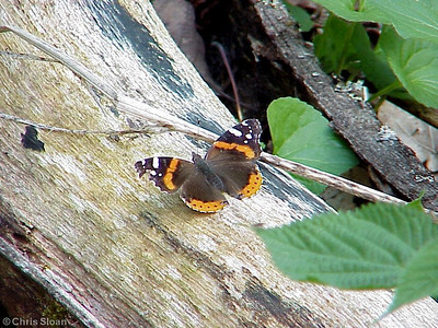 Red Admiral at Shady Valley (5-7-00)