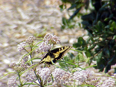 Anise Swallowtail in Santa Clara County (7-27-02)