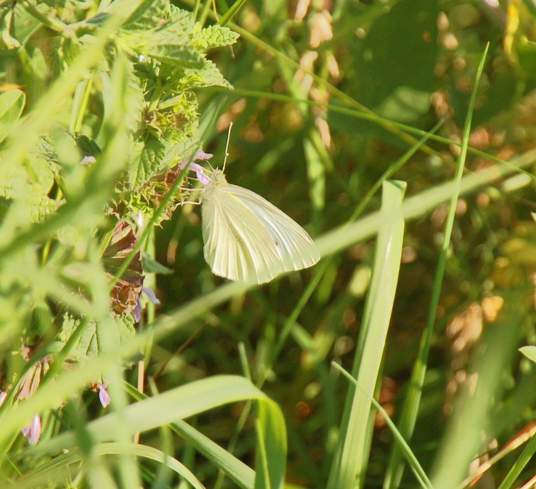 Small White. Ivinghoe July 2012