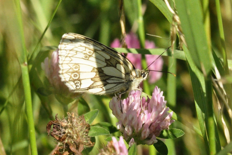 Marbled White. Pitstone July 2012