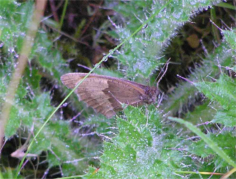 Meadow Brown. Christmas Common Aug 2005