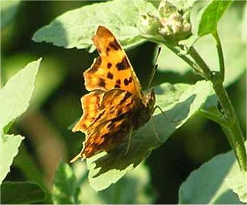 Comma. Princes Risborough Aug 2005