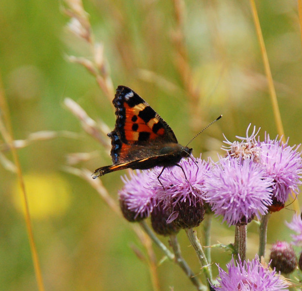 Small Tortoiseshell , Pitstone Hill, Aug 2012