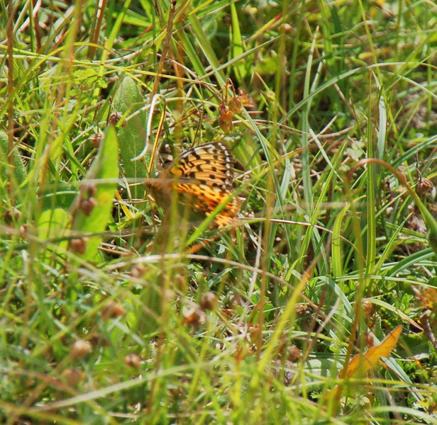 Dark Green Fritillary. Ivinghoe July 2012