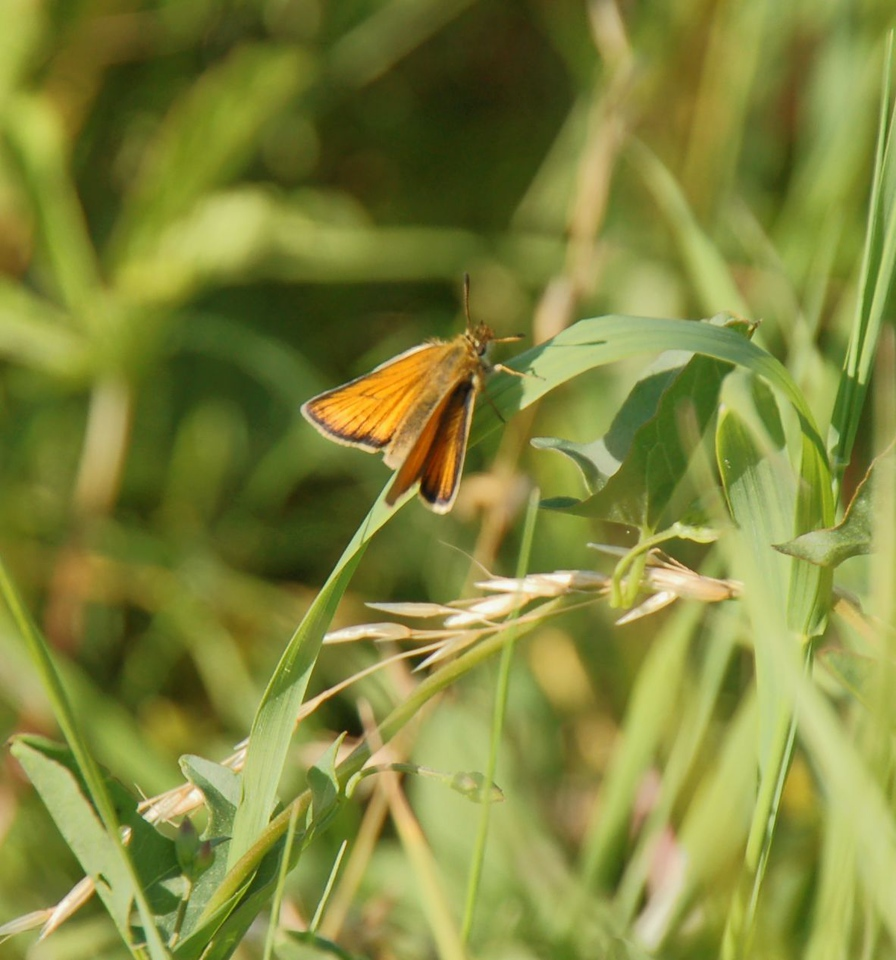 Small Skipper. Ivinghoe July 2012