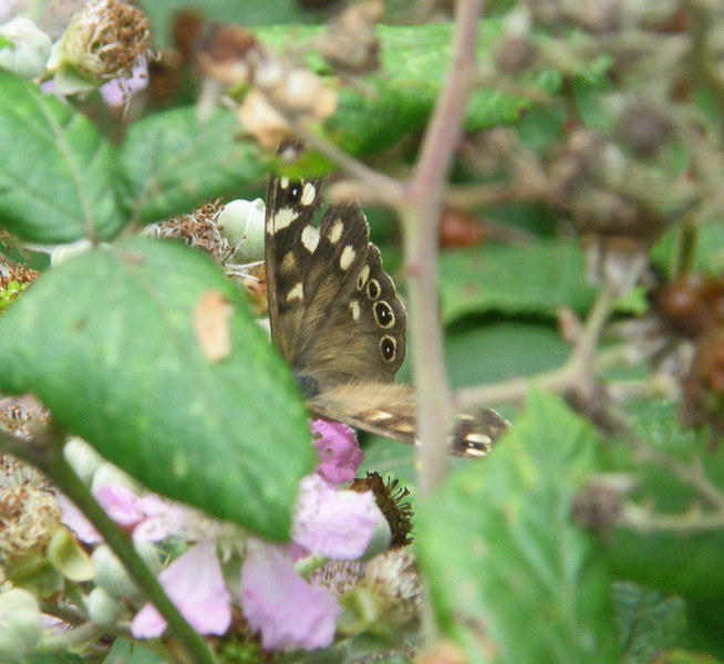 Speckled Wood Aug 2012