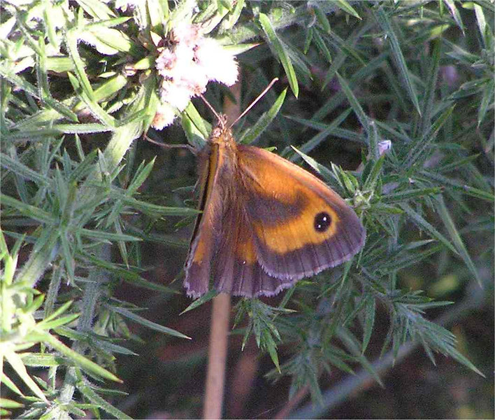 Meadow Brown. Burry Port July 2005