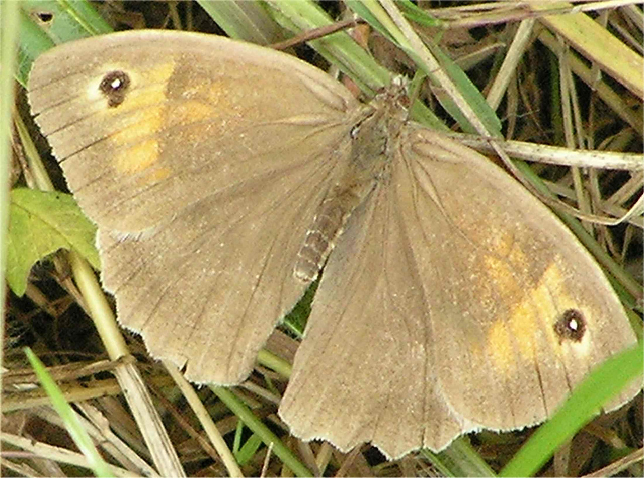 Meadow Brown. Hughenden Aug 2005