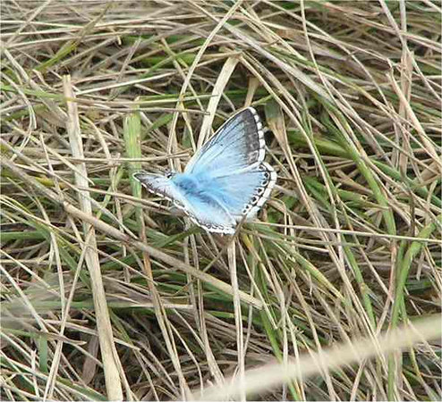 Chalk Hill Blue. Bournemouth Aug 2006