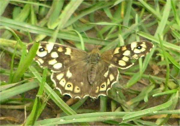 Speckled Wood. Wokingham