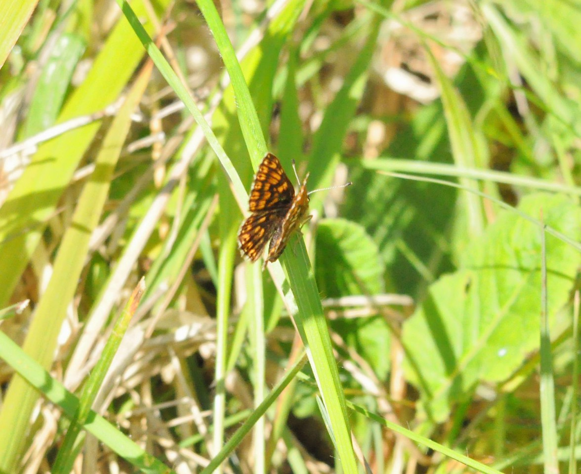 Duke of Burgundy. Ivinghoe May 2012