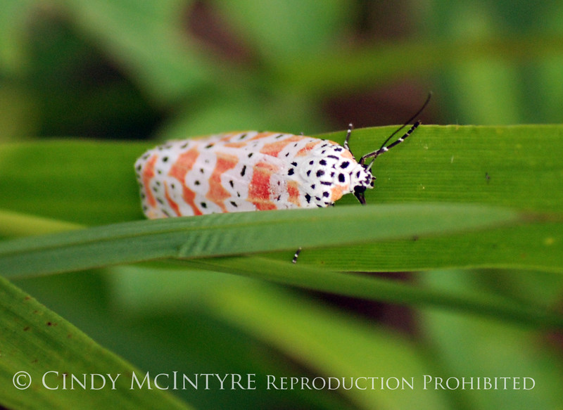 Bella Moth, Utethesia ornatrix, FL (2)