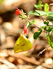 Cloudless sulphur, female, FL (1)