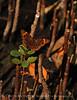 Common Buckeye, S FL