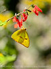Cloudless sulphur, female, FL (2)
