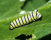Monarch Caterpillar, One Week Old