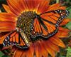 Monarchs 09-30-06 086ps