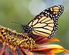 Monarchs 09-30-06 013ps2