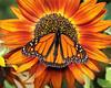 Monarchs 09-30-06 025ps
