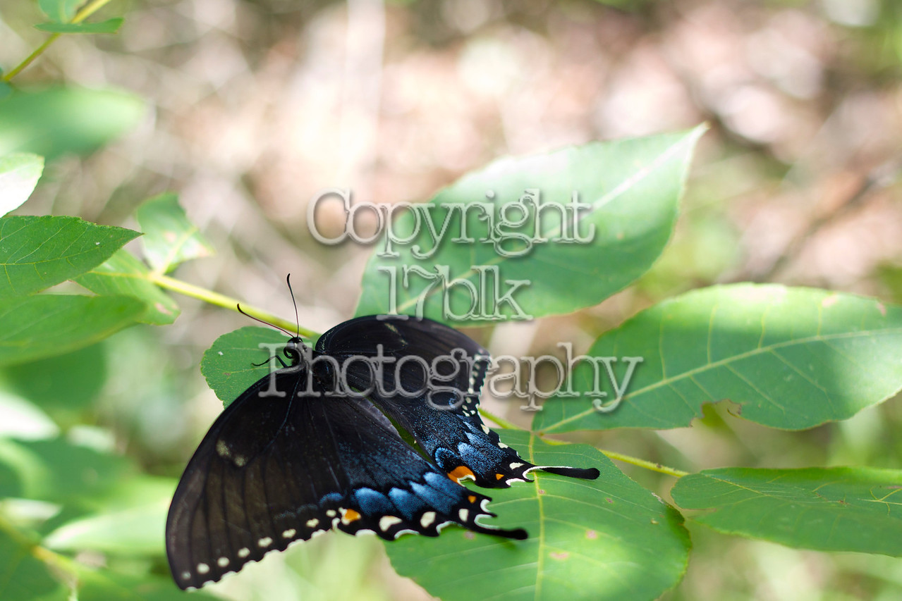 Resting Eastern Tiger Swallowtail