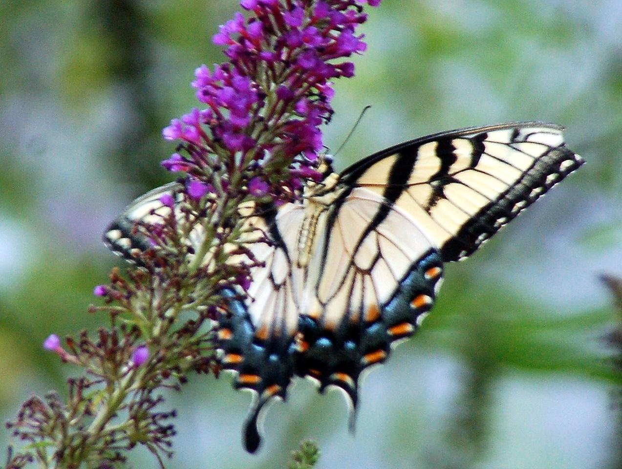 Backyard Butterfly 7-08-43