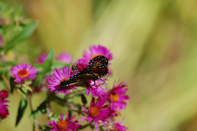 Butterflies_2006-10-08_13