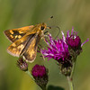 Female Peck's Skipper Butterfly,  Soldier's Delight, Maryland