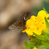 Dusted Skipper on Puccoon - May 6, 2012
