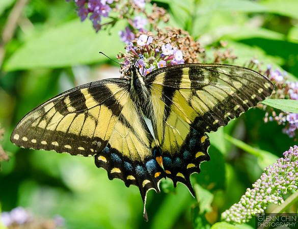 20130817_Butterflies_68