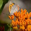 American Copper on Butterfly Milkweed - Oak Openings - July 2009