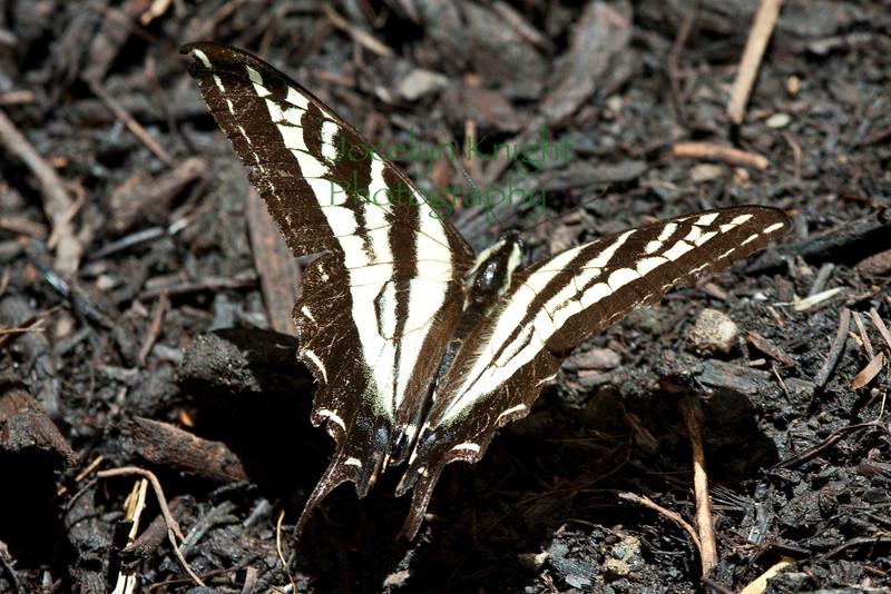 Pale Swallowtail6039