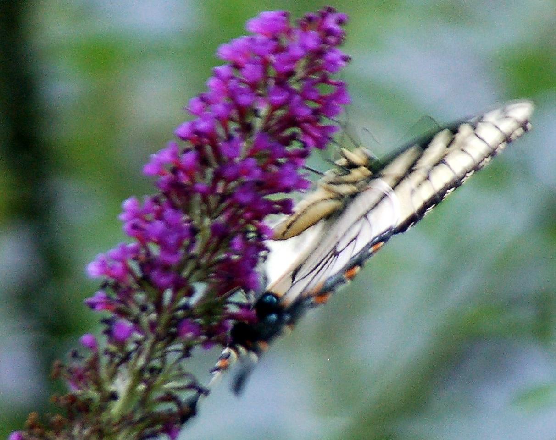Backyard Butterfly 7-08-49