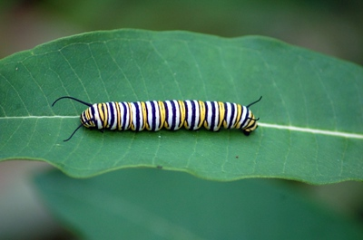 Monarch Caterpillar1