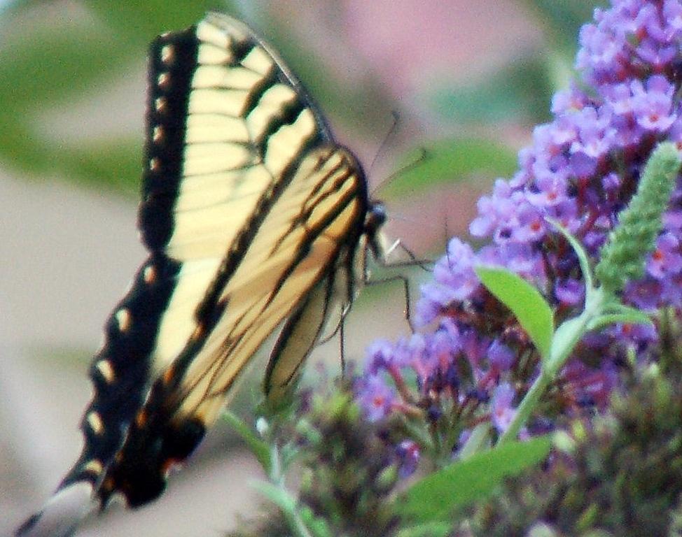 Backyard Butterfly 7-08-60