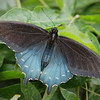 Pipevine Swallowtail (male) at Pavilion of Wings - 2 June 2012