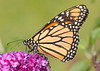 Monarch {Danaus plexippus} on Butterfly bush<br /> Chicago, IL<br /> © WEOttinger, The Wildflower Hunter - All rights reserved<br /> For educational use only - this image, or derivative works, can not be used, published, distributed or sold without written permission of the owner.