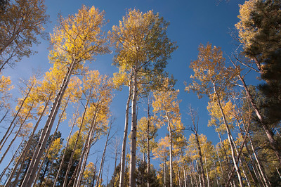 Aspen trees with fall colors glowing in the light of day.