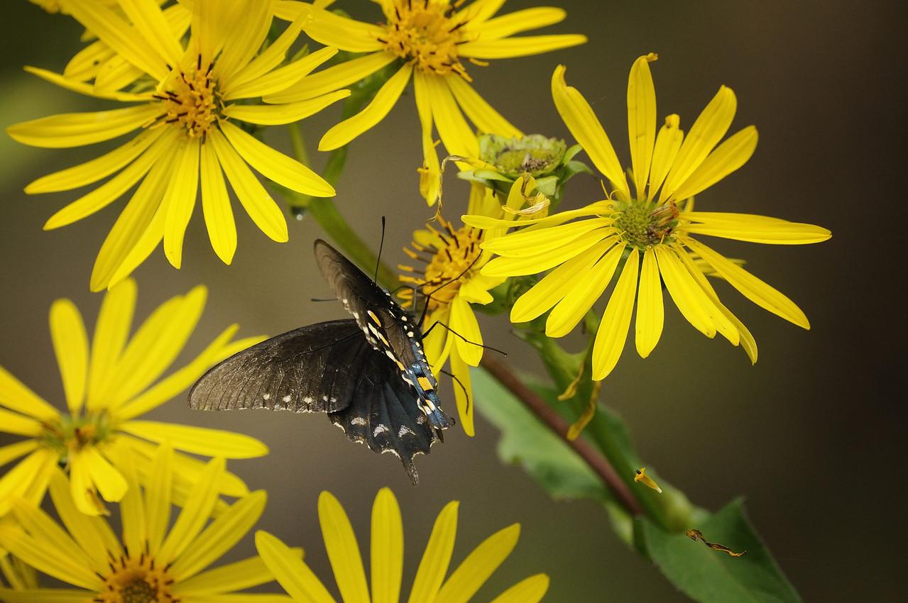 Pipe Vine, or Blue Swallowtail butterfly. Norfork River, Norfork, Arkansas.