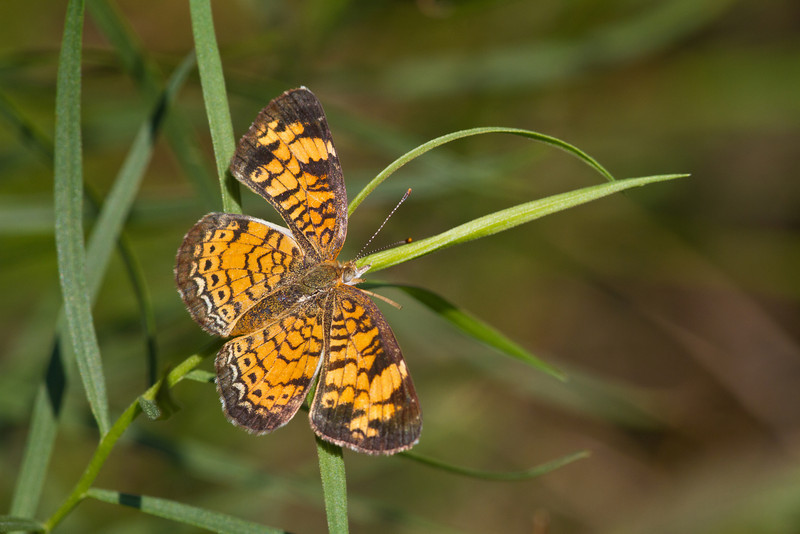 Pearl Crescent - Oak Openings - July 29, 2012
