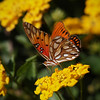 Gulf Fritillary at the Nursery - 28 Oct 2012