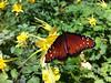Queen Butterfly (iPhone 4)