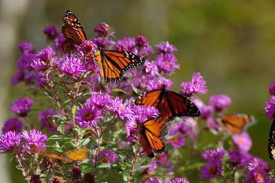 Butterflies_2006-10-08_39