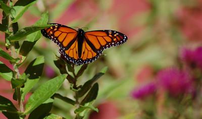Butterflies_2006-10-08_9