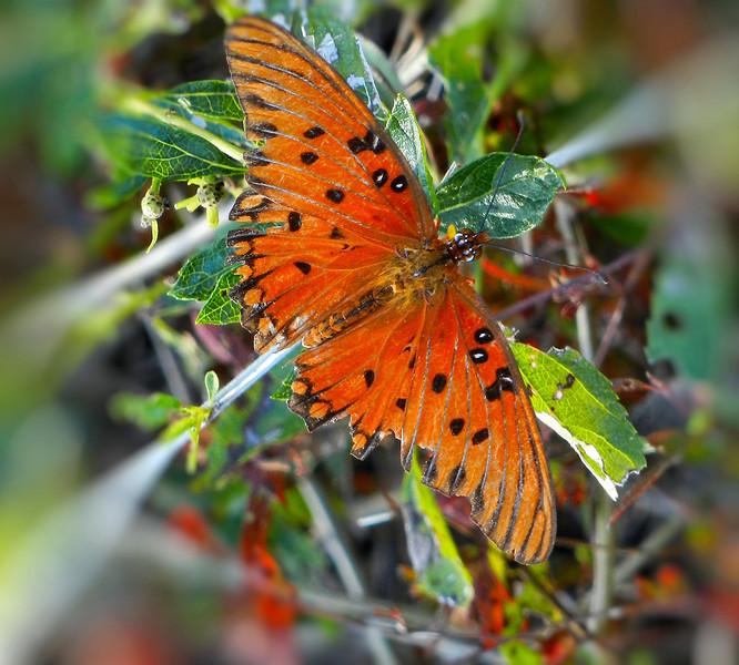 Gulf Fritillary butterfly in late fall.