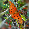 Gulf Fritillary butterfly in late fall.