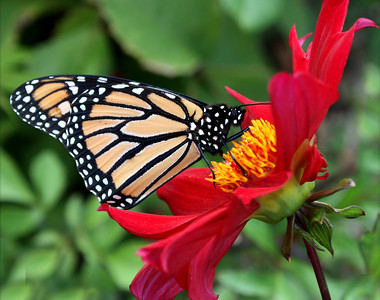 Monarch on Dahlia