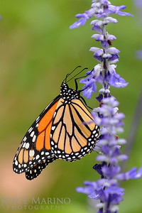 Monarch Butterfly on purple Salvia -- DSC_1055