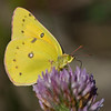 Clouded Sulphur - Sylvan Prairie - September 2008