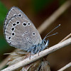 Silvery Blue  - Shawnee - April 29, 2011